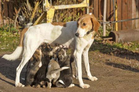 k9: hound dog puppies feeding