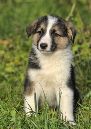 tricolor puppy on grass photo