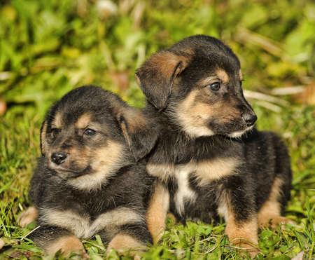 alsation: Portrait of young german shepherd dogs.