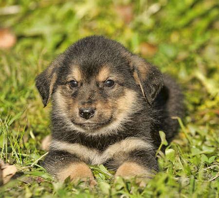 alsation: Portrait of young german shepherd dog.