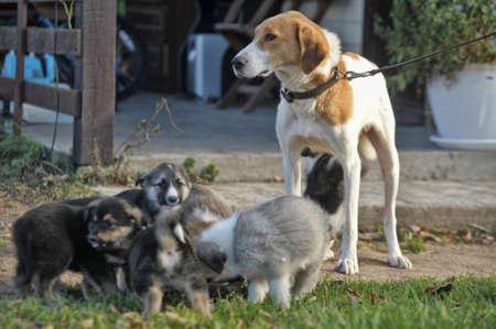 rhodesians: hound dog puppies feeding