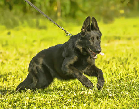 Black Shepherd puppy on a background of green grass photo