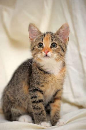sneaks: Tricolor fluffy kitten carefully sneaks up Stock Photo