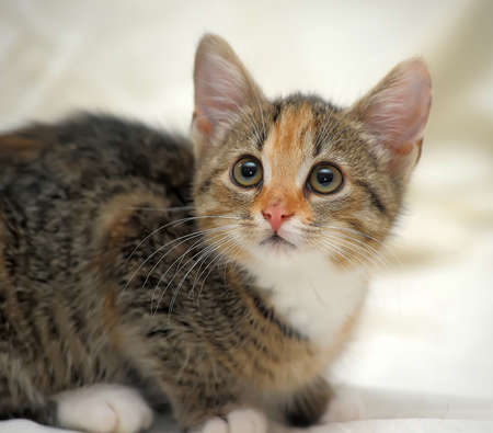tricolor: Tricolor fluffy kitten carefully sneaks up Stock Photo