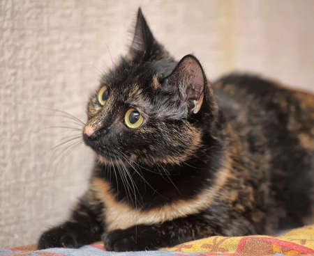 tortoiseshell: beautiful tortoiseshell cat