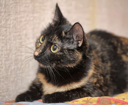 curios: beautiful tortoiseshell cat