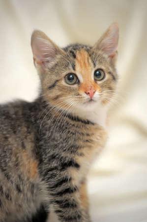 tri  color: cute kitten tricolor