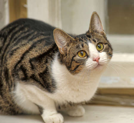 striped with white cat photo