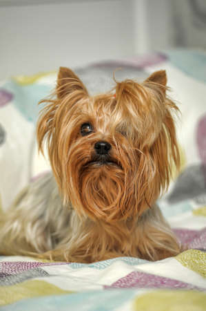 Little mini York Terrier - cute dog. photo