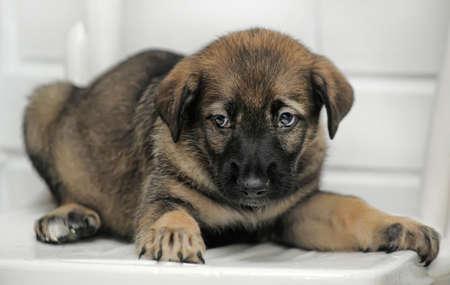 half breed: Shepherd puppy Stock Photo