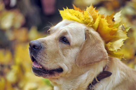 Labrador retriever In autumn leaves. photo