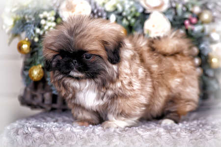 Pekingese puppy and Christmas background photo