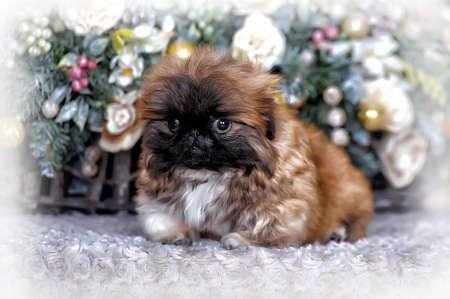 pekingese: Pekingese puppy and Christmas background