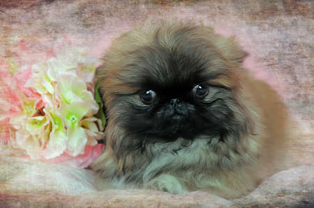 Pekingese little puppy next to a flower on a pink  photo