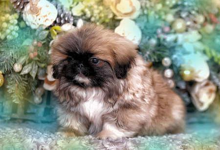 Pekingese puppy and Christmas background photo