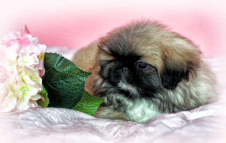 pekingese: Pekingese puppy Stock Photo