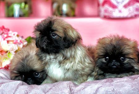 pekingese: Three Pekingese puppy