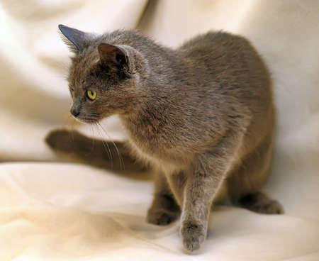 breed: Beautiful cat breed Russian Blue.