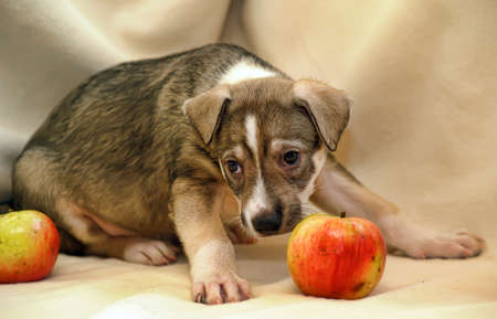weenie: cute puppy with apples
