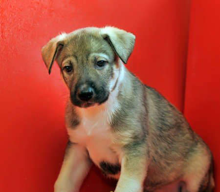 weenie: brown and white puppy on a red background Stock Photo