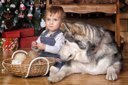 Little girl in the house and Malamute sitting together on the floor in Christmas.