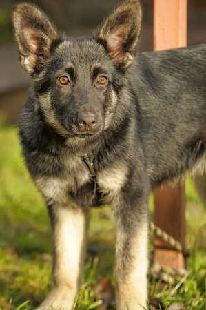German Shepherd puppy on grass background. photo
