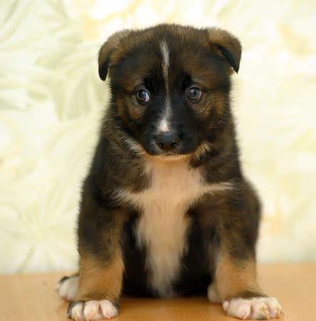 weenie: Lovely puppy Stock Photo
