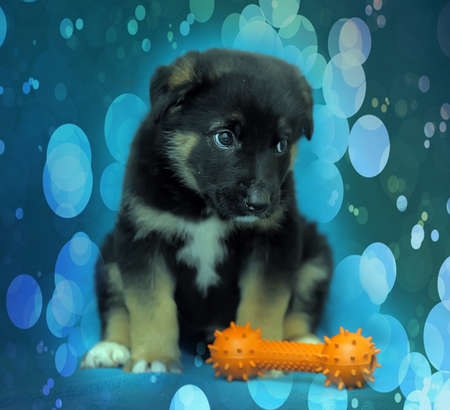 Crossbreed puppy shepherd dog on a blue background and a rubber toy bone. photo