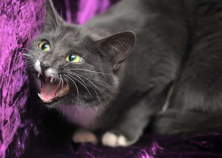 Gray and white cat on a purple background. photo