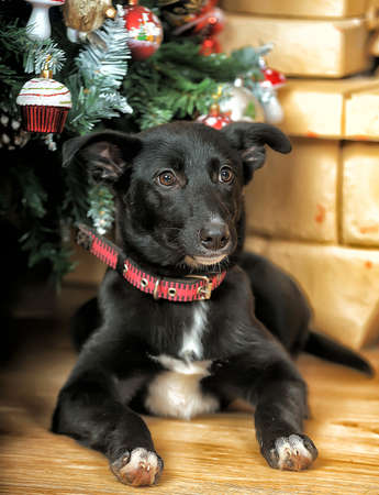 Black with a white chest Puppy photo