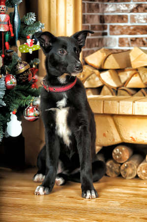 Black with a white chest Puppy by the fireplace and Christmas tree. photo