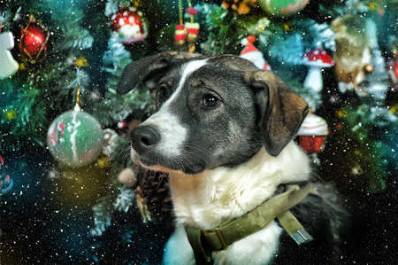 Dog in Christmas at the Christmas tree with gifts photo
