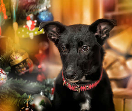 black with a white chest Puppy by the fireplace and Christmas tree photo
