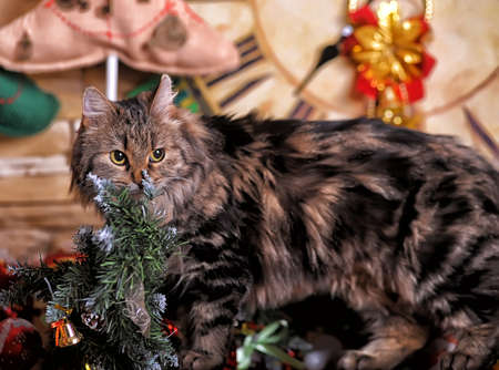 laying forward: beautiful fluffy Siberian cat with stripes on a New Years background