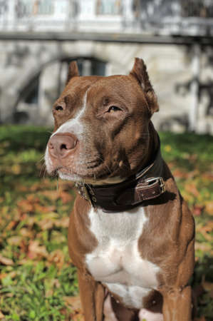 pit fall: American Pit Bull Terrier among the autumn leaves in the park Stock Photo
