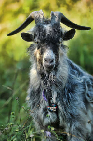 gray goat photo