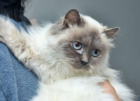 himalayan cat: Himalayan cat in the hands of man. Stock Photo