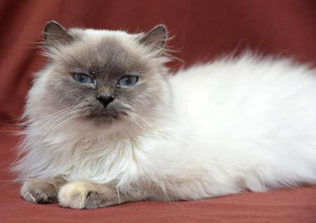 himalayan cat: Himalayan cat
