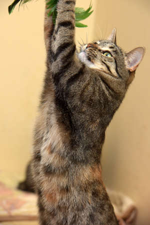 cat stretching: Cat playing standing on its hind legs. Stock Photo
