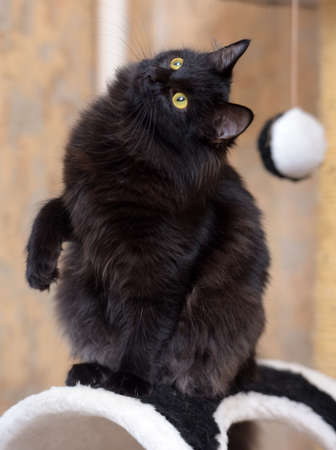 Smooth black young cat photo