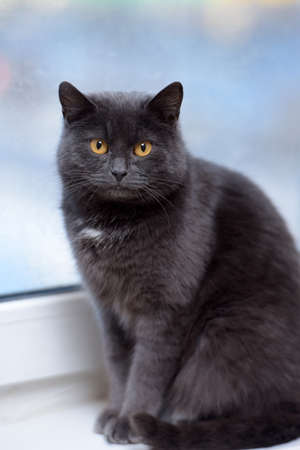 Plump gray British cat with yellow eyes. photo