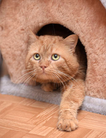 ginger cat in the cat house photo