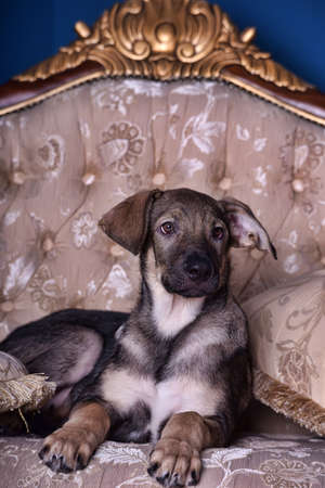 crossbreed puppy dog on the couch photo