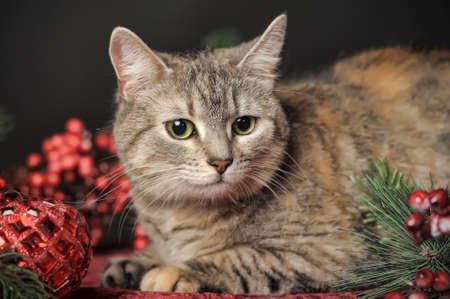 European Shorthair (Celtic) cat photo