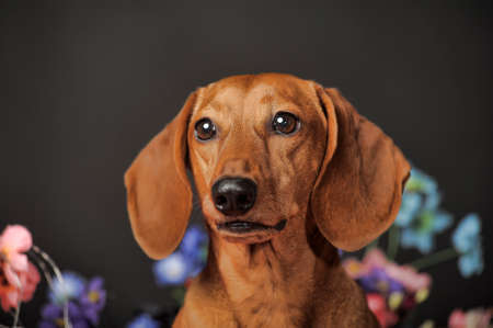 Brown dachshund on a background of flowers. photo