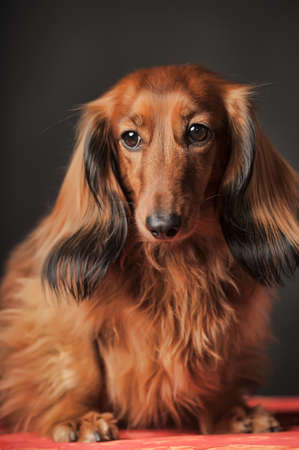 long legged: Long-haired dachshund in studio.