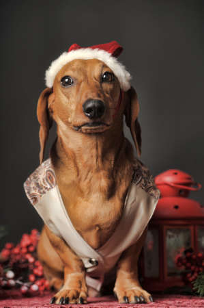 Beautiful brown dachshund in a New Year photo