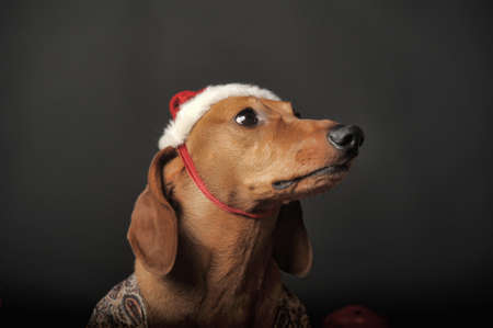 Beautiful brown dachshund in a New Years cap. photo