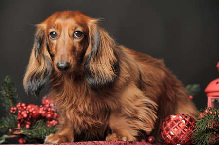 bred: Long-haired dachshund in studio.