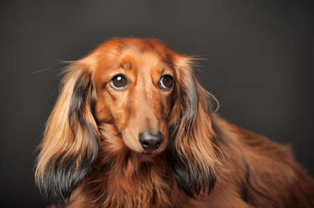 weenie: Long-haired dachshund in studio.